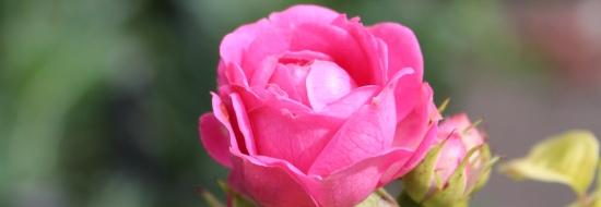 Well nourished rose in bloom